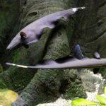 Аптеронот, Нож черный (Apteronotus albifrons) 4