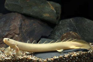 Полиптерус сенегальский (Polypterus senegalus)