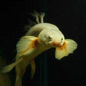 Полиптерус сенегальский (Polypterus senegalus)08