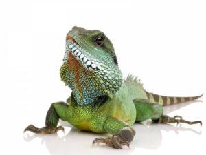 Игуана зеленая (Iguana iguana)4
