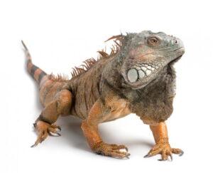 Игуана зеленая (Iguana iguana)5