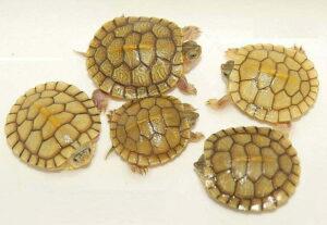 Черепаха красноухая (Pseudemys scripta elegans)12