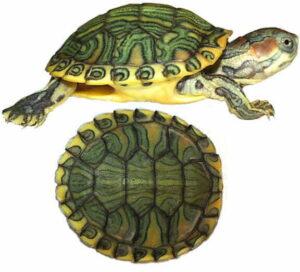Черепаха красноухая (Pseudemys scripta elegans)15