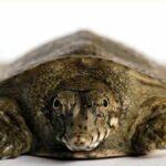 Трионикс китайский (Pelodiscus sinensis)01