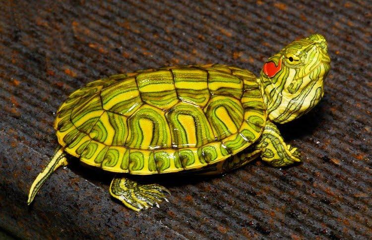 Черепаха красноухая (Pseudemys scripta elegans)07