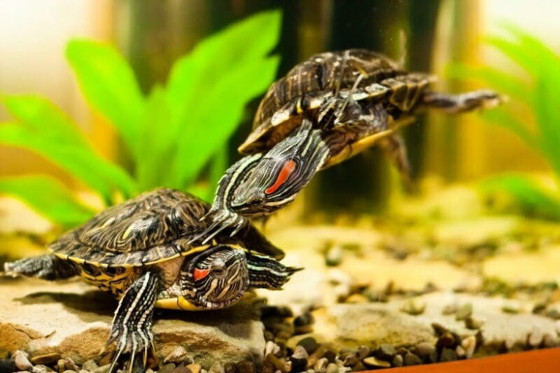 Красноухая черепаха (Pseudemys scripta)