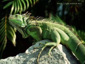 Игуана зеленая (Iguana iguana)3