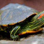 Черепаха красноухая (Pseudemys scripta elegans)09