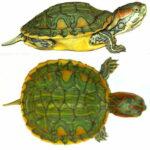 Черепаха красноухая (Pseudemys scripta elegans)14