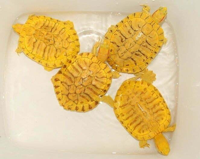 Черепаха красноухая (Pseudemys scripta elegans)11