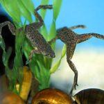 Карликовая водная лягушка(Hymenochirus boettgeri)