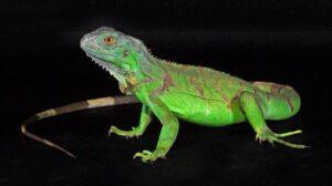 Игуана зеленая (Iguana iguana)1