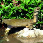 Трионикс китайский (Pelodiscus sinensis)03