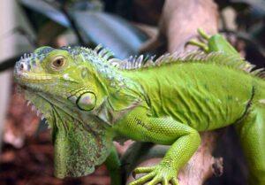 Игуана зеленая (Iguana iguana)2