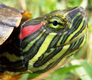 Черепаха красноухая (Pseudemys scripta elegans)16