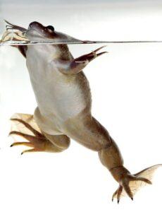 Карликовая водная лягушка-Hymenochirus boettgeri 6