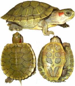 Черепаха красноухая (Pseudemys scripta elegans)13