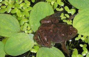Карликовая водная лягушка-Hymenochirus boettgeri 2