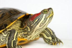 Черепаха красноухая (Pseudemys scripta elegans)10