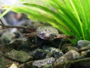 Карликовая водная лягушка-Hymenochirus boettgeri 5