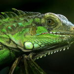 Игуана зеленая (Iguana iguana)
