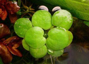 Лимнобиум (Limnobium stoloniferam / laevigatum) 1