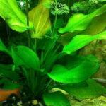 Эхинодорус Ашерсона (Echinodorus aschersonianus) 7