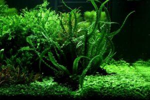 Кринум плавающий (Crinum natans) 4