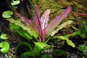Эхинодорус Ориенталь (Echinodorus Oriental) 2