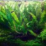 Барклайя длиннолистная ( Barclaya longifolia)3
