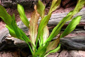 Эхинодорус Питон (Echinodorus Python) 2