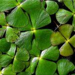 Марсилия четырехлистная (Marsilea quadrifolia) 4