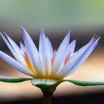 Кувшинка Морская роза (Nymphaea Daubenyana) цветок