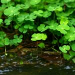 Марсилия четырехлистная (Marsilea quadrifolia) 5