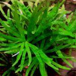 Эйхорния разнолистная ( Eichhornia diversifolia) 3
