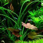 Кринум плавающий (Crinum natans) 3