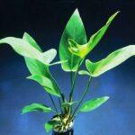 Анубиас хастифолия (Аnubias-hastifolia)1