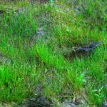 Ситняг игольчатый (Eleocharis acicularis) 1