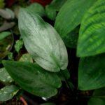 Лагенандра Меебольда (Lagenandra meeboldii) 9