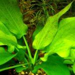 Эхинодорус крапчатый (Echinodoras aspersus) 2