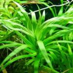 Эйхорния разнолистная ( Eichhornia diversifolia) 5