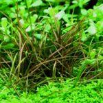 Эхинодорус нежный (Echinodorus tenellus) 4