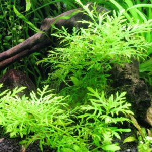 Гигрофила разнолистная (Hygrophila difformis)1