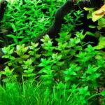 Бакопа каролинская (Bacopa caroliniana)3