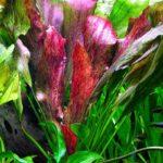 Эхинодорус Красное Пламя (E. Red Flame) 1