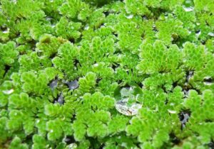 Азолла каролинская (Azolla caroliniana) 5