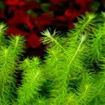 Майака речная (Mayaca fluviatilis) 1