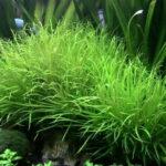 Бликса колючесеменная (Blyxa echinosperma) 3