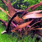 Барклайя краснолистная (Barclaya peryana) 2