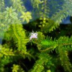 Элодея канадская (Elodea canadensis) 2